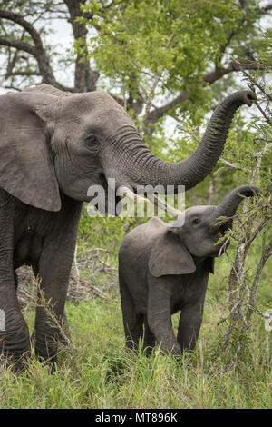 A mother elephant and her baby eating together. - Stock Photo