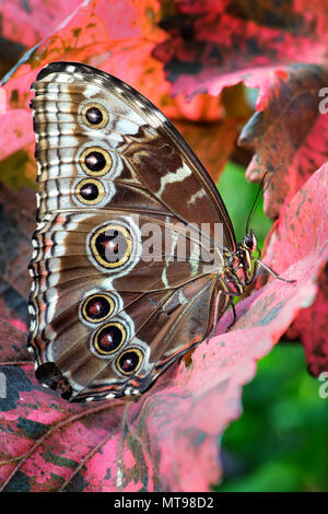 Giant owl butterfly  - Caligo memnon, beautiful large butterfly from Central America forests. - Stock Photo