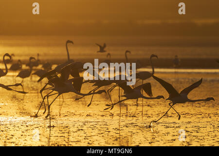 Greater Flamingo (Phoenicopterus roseus). Group taking-off at sunset at the Laguna de Fuente de Piedra near the town of Antequera. This is the largest natural lake in Andalusia and Europe's only inland breeding ground for this species. Malaga province, Andalusia, Spain. - Stock Photo