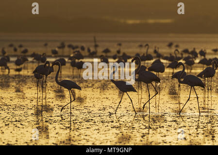 Greater Flamingo (Phoenicopterus roseus). At sunset at the Laguna de Fuente de Piedra near the town of Antequera. This is the largest natural lake in Andalusia and Europe's only inland breeding ground for this species. Malaga province, Andalusia, Spain. - Stock Photo