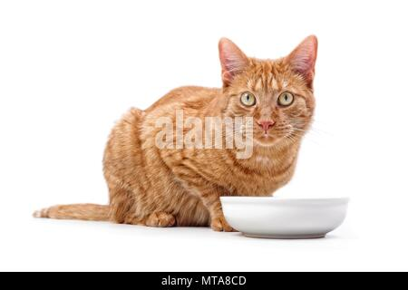 Ginger cat sitting around a bowl of food and looking to the camera - isolated on white. - Stock Photo