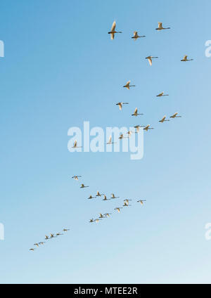 Flock of birds, flying Whooper swans (Cygnus cygnus) in formation, South Iceland, Iceland - Stock Photo