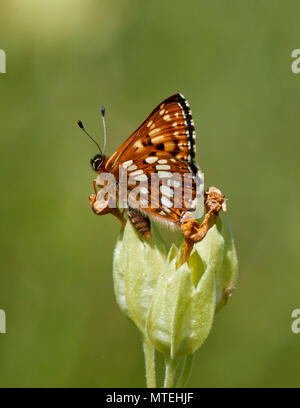 Duke of Burgundy butterfly on cowslip flowers. Noar Hill Nature Reserve, Selborne, Hampshire, England. - Stock Photo