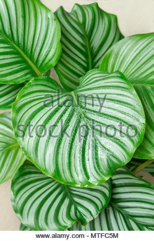 calathea orbifolia plant - Stock Photo