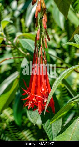 Fuchsia Corymbiflora flowers closeup 1. - Stock Photo