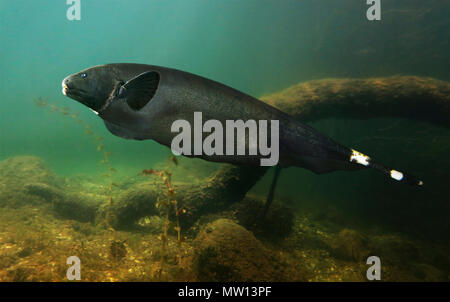 Black ghost knifefish, Apteronotus albifrons. They live on freshwater habitats in South America from Venezuela to Paraguay, including - Stock Photo