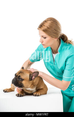 focused veterinarian examining french bulldog isolated on white - Stock Photo