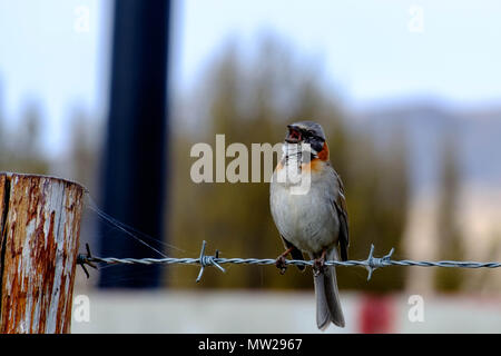 A rufous-collared sparrow sings while sitting on the barbed wire that borders the Laguna Nimez in El Calafate, Patagonia, Argentina. - Stock Photo