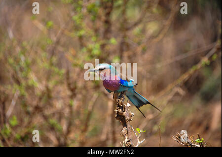 A lilac-breasted roller (Coracias caudatus), the National bird of Kenya,  perched on a branch in it's usual habitat  of open woodland and savanna - Stock Photo