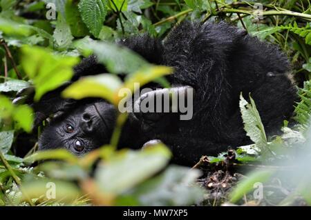 Young mountain gorilla playing in Bwindi Impenetrable Forest, Uganda - Stock Photo