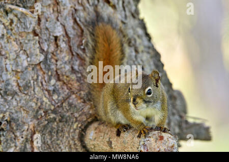 A wild red squirrel 'Tamiasciurus hudsonicus'; perched on branch of a spruce tree in rural Alberta Canada - Stock Photo