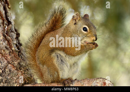 A wild red squirrel 'Tamiasciurus hudsonicus'; sitting on branch of a spruce tree using his front paws to hold something that he is eating  in rural A - Stock Photo
