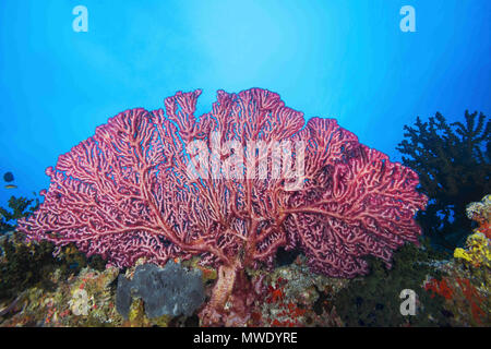 Indian Ocean, Maldives. 5th Apr, 2018. Cherry Blossom Coral or Godeffroy's Soft Coral Credit: Andrey Nekrasov/ZUMA Wire/ZUMAPRESS.com/Alamy Live News - Stock Photo