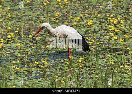 a white stork (Ciconia ciconia) catches and eats snake in the nature reserve kuehkopf, hesse, germany - Stock Photo