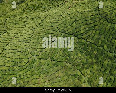 Tea plantations in Cameron Highlands, Malaysia. - Stock Photo