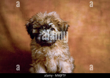 Adorable Whoodle Puppy - Stock Photo