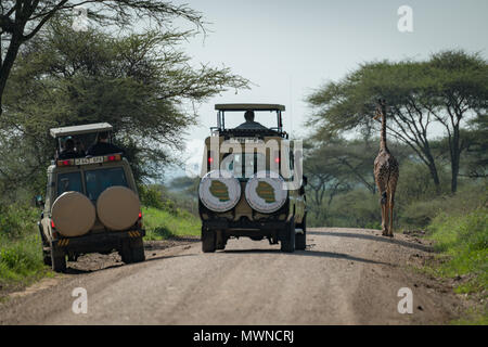 Masai giraffe blocking road for two jeeps - Stock Photo