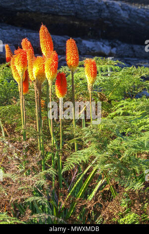 Landscape with flowers and ferns in coldstream on the , Garden Route, Tsitsikamma, protected area, Cape, South Africa, - Stock Photo