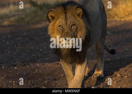 Male Black Maned African Lion at Mashatu Game Reserve Botswana - Stock Photo