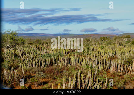 Cactus in the winter landscape of the Addo Elephant National Park, eastern cape, south africa - Stock Photo