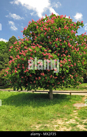 Red horse-chestnut tree in Winchester park - Stock Photo