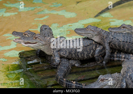 Alligator youngsters on log - Stock Photo