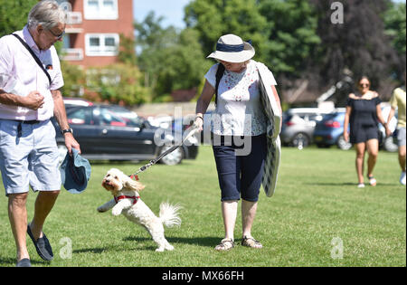 Eastbourne UK 3rd June 2018  - UK Weather: This hound gets very excited in the sunshine at The Saffrons cricket ground where Sussex Sharks are playing Essex Eagles in Eastbourne with temperatures forecast to reach the high 20s in some parts of the South East today Credit: Simon Dack/Alamy Live News - Stock Photo
