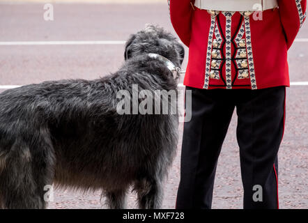 Close up of Irish Guard soldier with great dane dog standing to attention as Household Cavalry passes in front during the Trooping the Colour parade. - Stock Photo