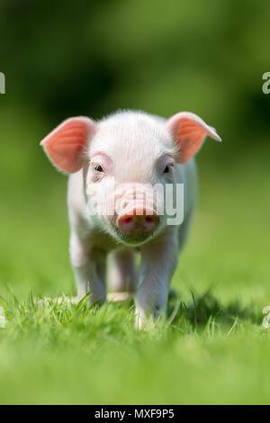 Newborn piglet on spring green grass on a farm - Stock Photo