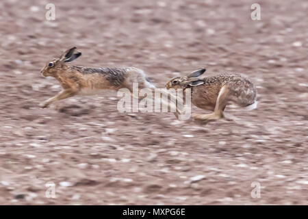 Running brown hares across a dirt field in Norfolk during mating season. Wild animals caught at speed during a chase - Stock Photo