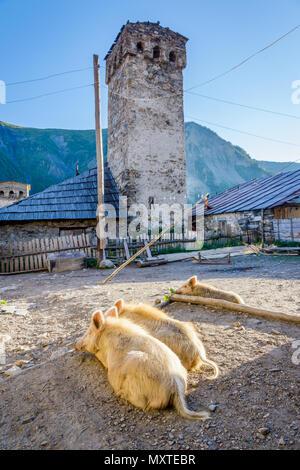 Pigs sunbathing in the yard in Adishi village, Svaneti, Georgia - Stock Photo