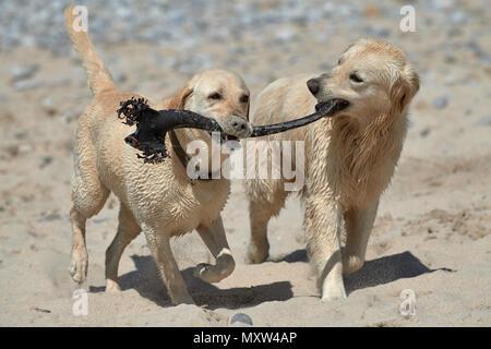 Labrador and retriever playing on beach with kelp stipe - Stock Photo