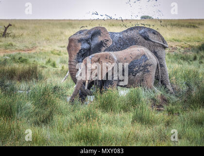 Elephants (Loxodonta africana)spraying mud into the air at a watering hole in Tanzania, Africa - Stock Photo