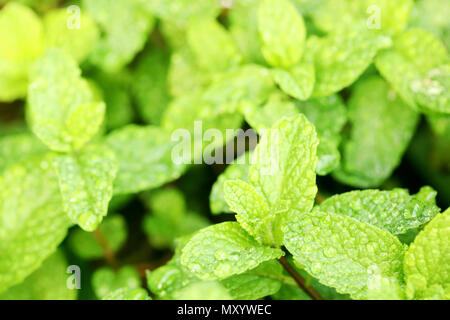 close up of wet morning dew on bright green mint leaves. herbs herbal healthy cooking ingredient recipe. - Stock Photo