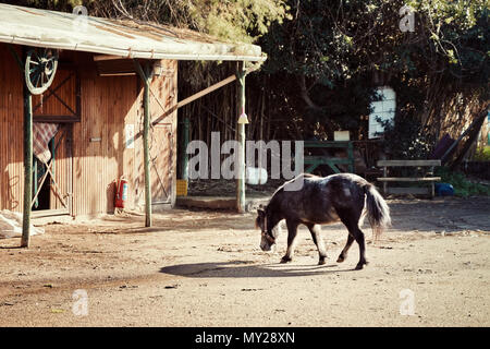 Little black pony walking towards the stable in a horse farm on a sunny day - Stock Photo