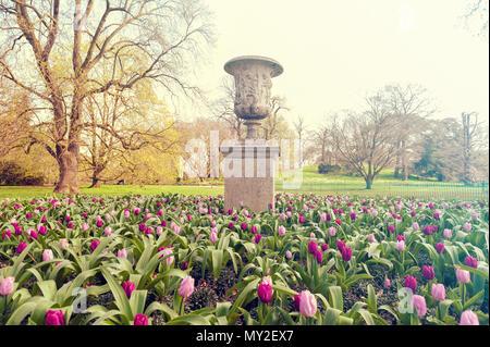 London, UK - April 2018: Purple Prince Single Early Tulips (Tulipa) growing in a flowerbed at Kew Garden, England - Stock Photo