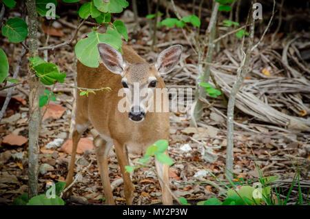 Key Deer (Odocoileus virginianus clavium) at National Key Deer Refuge in Big Pine Key, Florida - Stock Photo