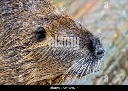 A Nutria comes out of the water - Stock Photo