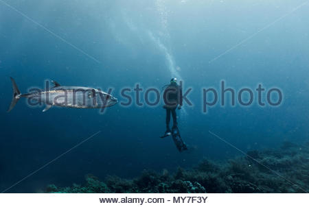 Diver and tuna fish, underwater view, Tubbataha Reefs Natural Park, Cagayancillo, Palawan, Philippines - Stock Photo