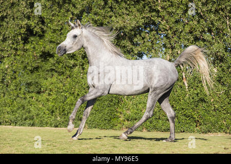 Arabian Horse. Gray stallion galloping on a lawn. Egypt - Stock Photo