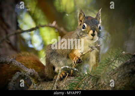 A close up image of a red squirrel 'Tamiasciurus hudsonicus'; sitting high in his tree looking down - Stock Photo