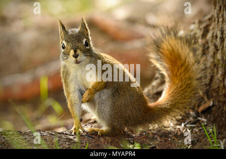 A close up image of a wild red squirrel  'Tamiasciurus hudsonicus'; sitting by a tree trunk with a questioning expression on his face, near Hinton Alb - Stock Photo