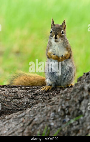 A vertical image of a wild red squirrel  'Tamiasciurus hudsonicus'; standing on a tree trunk with a cute expression on his face, near Hinton Alberta. - Stock Photo