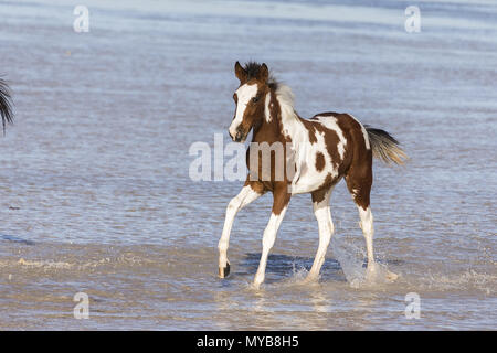 Pinto. Foal galloping in shallow water. Egypt. - Stock Photo