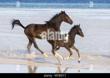 Barb horse. Bay horse and Pinto foal galloping in shallow water. Egypt. - Stock Photo