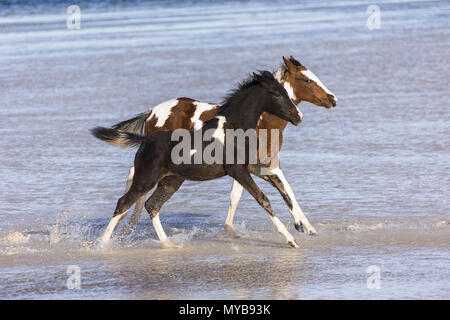 Pinto. Two foals galloping in shallow water. Egypt. - Stock Photo