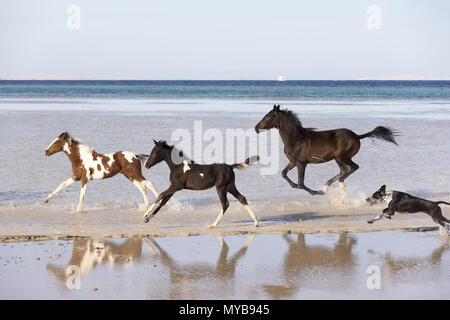 Barb horse. Bay horse, two Pinto foals and a dog galloping in shallow water. Egypt. - Stock Photo