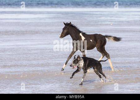 Pinto. Foal and dog galloping in shallow water. Egypt. - Stock Photo
