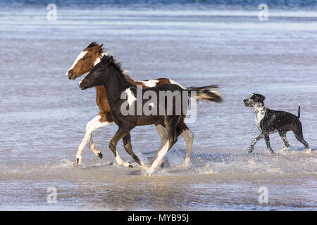Pinto. Two Pinto galloping in shallow water, followed by a dog. Egypt. - Stock Photo