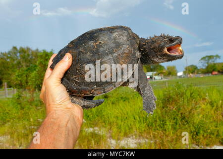 A Florida snapping turtle, Chelydra s. osceola, held by hand where found on a road. - Stock Photo